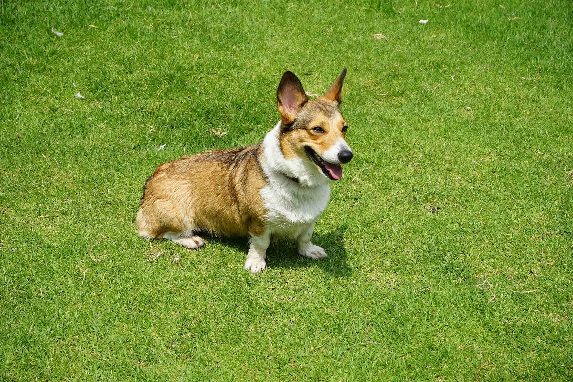 invisable fence dog